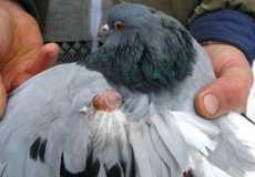 Лечение сальмонеллеза у голубей