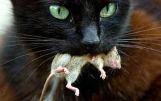 Что нужно сделать, если кот съел отравленную мышь?