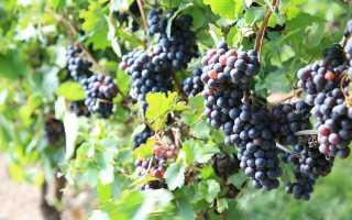 Симптоматика и лечение отравления виноградом