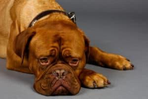 Домашний питомец - собака