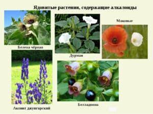Алкалоиды в растениях