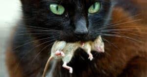 Кот съел отравленную мышь