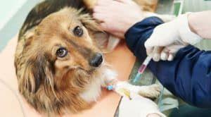 У собаки берут кровь на анализ