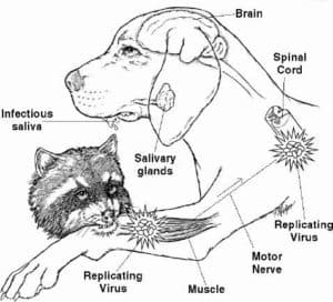 Процесс заражения собаки бешенством