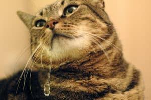 Слюноотделение у кошки