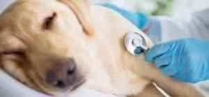 Отравившаяся собака на приеме у ветеринара