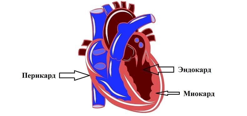Строение стенок сердца