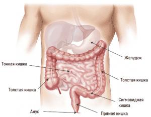 Строение кишечника человека