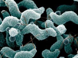 Кампилобактерии Campylobacter jejuni