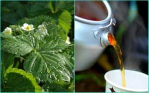 Земляничные листья и чай