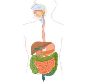 Система пищеварения человека