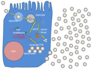 Цикл репликации ротавирусов